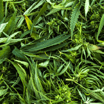 Large Quantities of Hemp Biomass Available