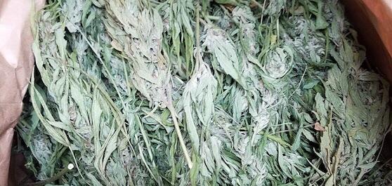 hemp and cbd biomass